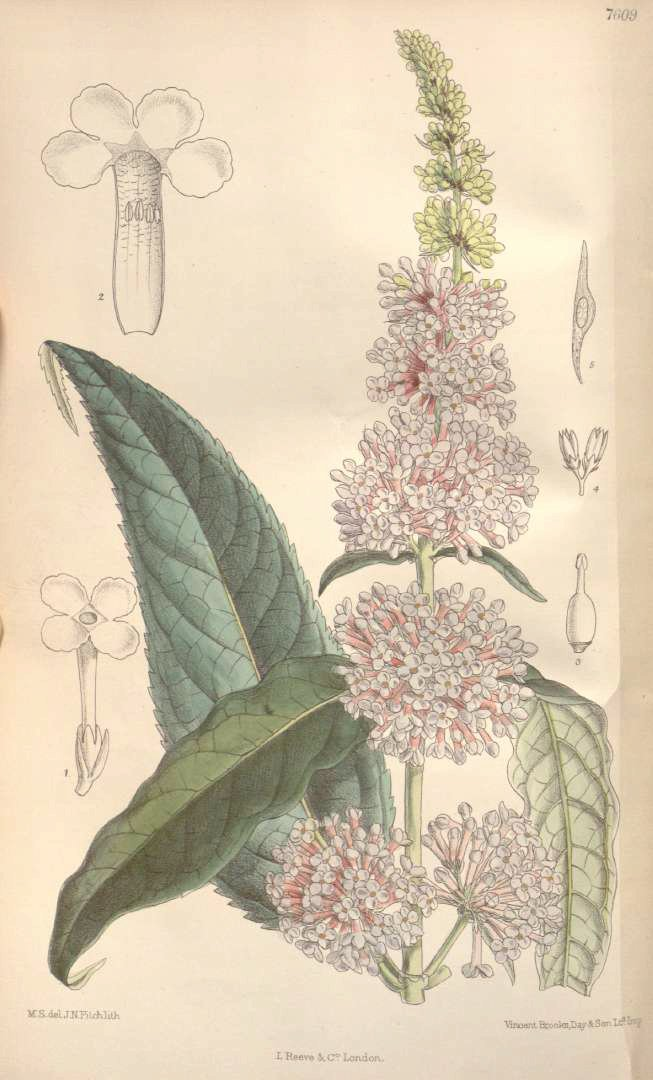 Buddleja davidii antique print