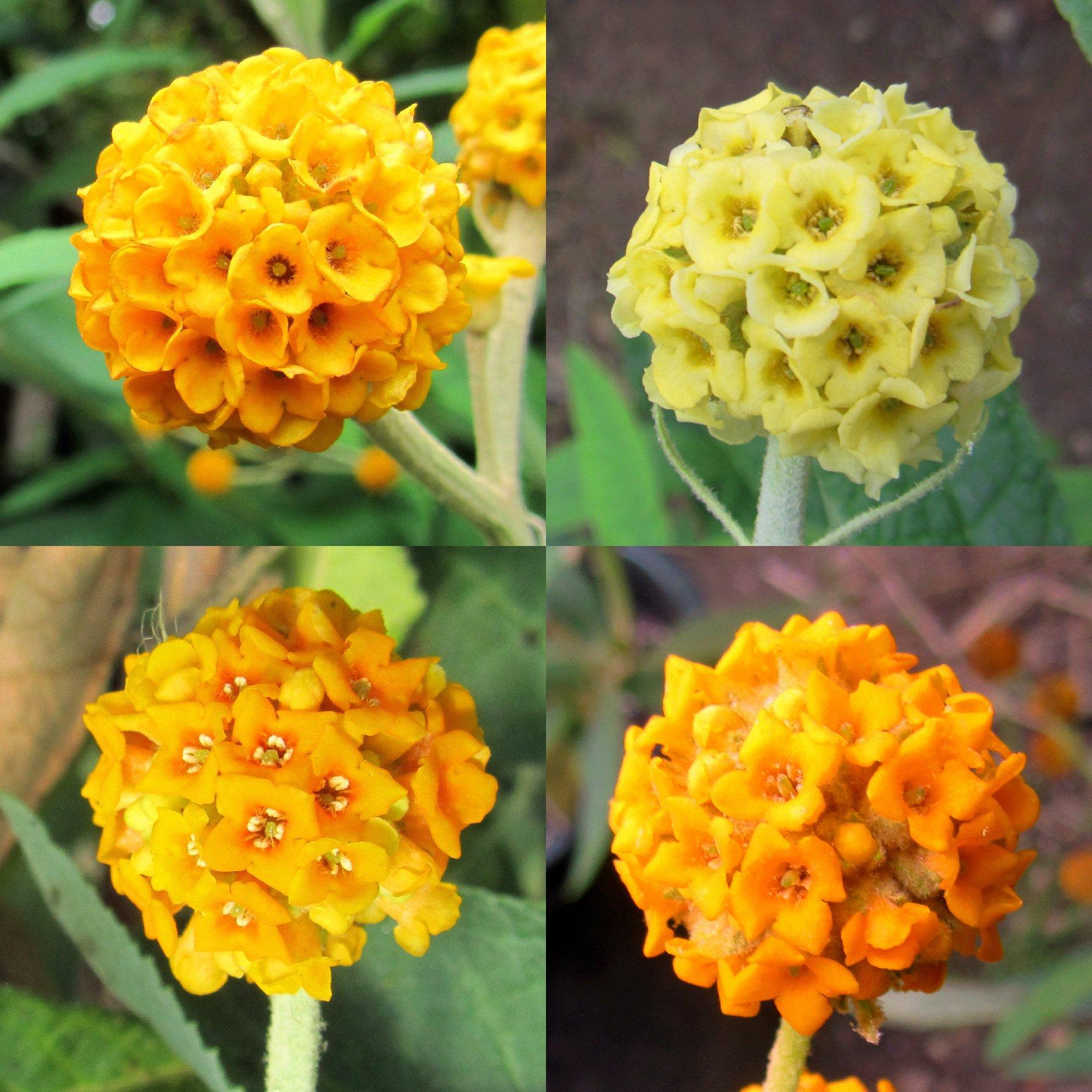 The Buddleja Garden Buddleia Globosa And Araucana Nappii