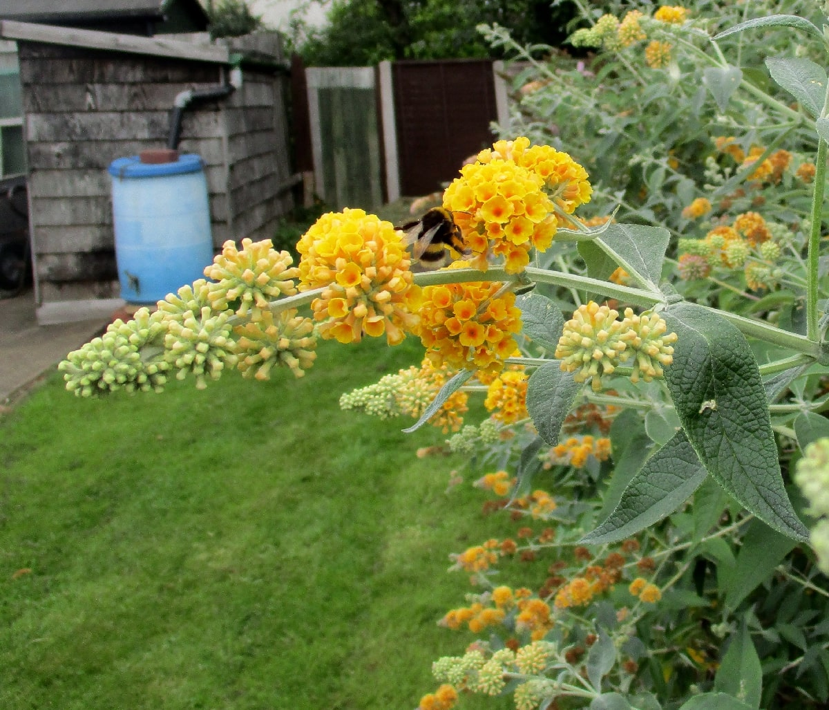 The Buddleja Garden Buddleia Weyeriana