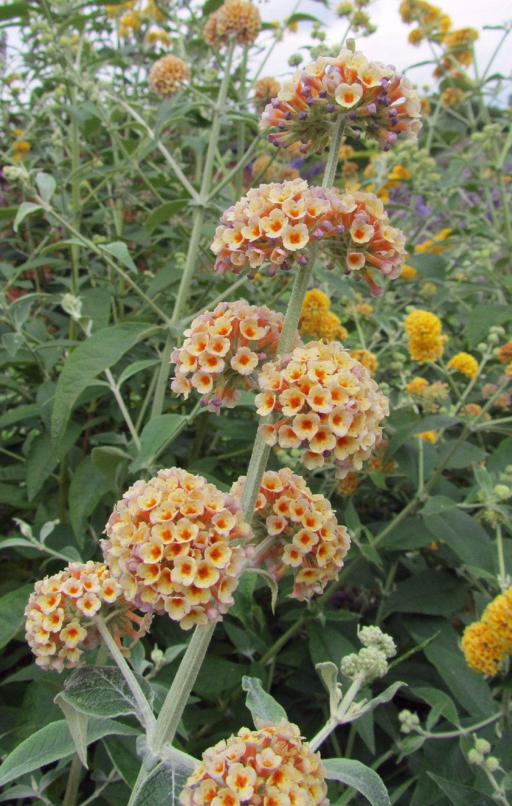 The Buddleja Garden Buddleia Weyeriana