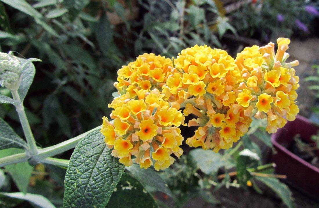 Buddleja × weyeriana