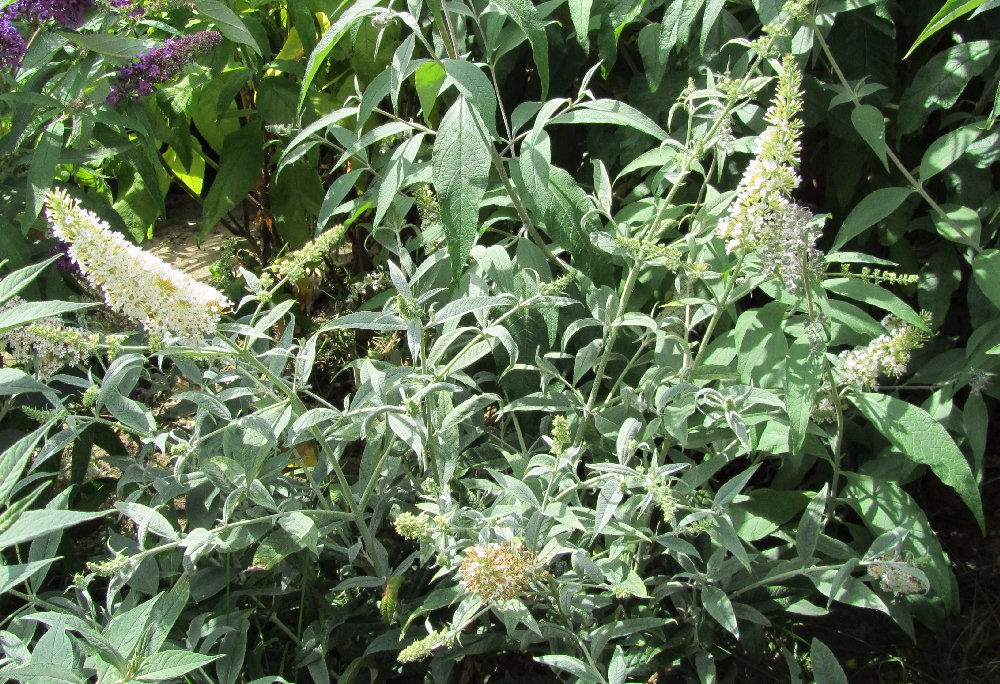 The buddleja garden buddleia davidii cultivars a very small plant ball shaped with small perfectly white flowers it is an example of a genetic trait called congested growth which is usually linked to mightylinksfo